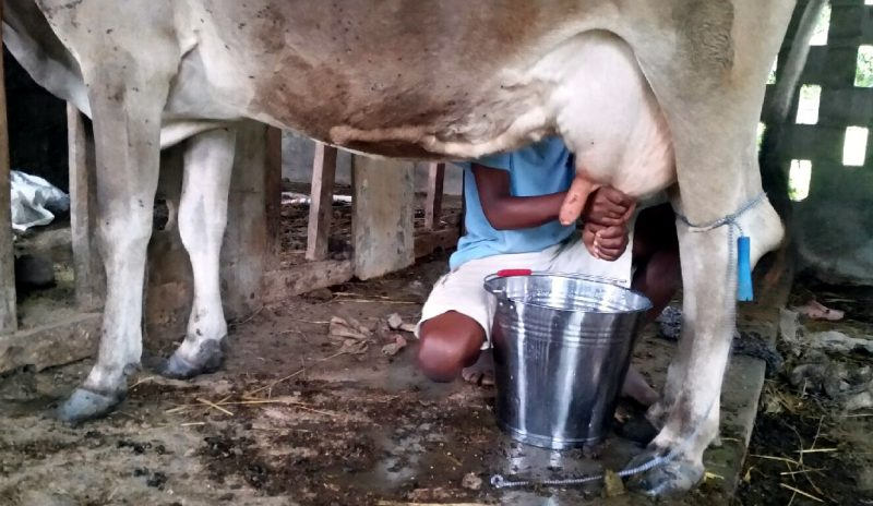 milking cow by hand