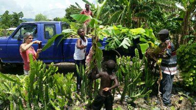 picking up banana trees to plant